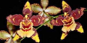 Técnicas de cultivo y principales especies de Odontoglossum