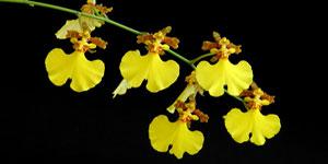 Técnicas de cultivo y principales especies de Oncidium