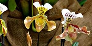 Técnicas de cultivo y principales especies de Paphiopedilum