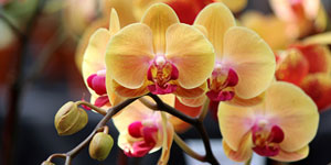 Técnicas de cultivo y principales especies de Phalaenopsis