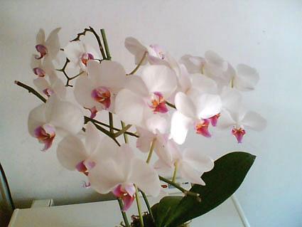 http://www.elicriso.it/es/orquideas/phalaenopsis/immagini/phalbiancalabellofucsia.jpg