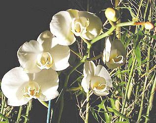Phalaenopsis Informacion sobre la orqudea Propiedades y cultivo