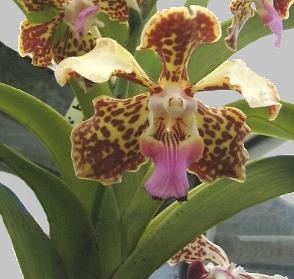 afa9d3c51d44f Vanda  Técnicas de cultivo y principales especies orquídea Vanda