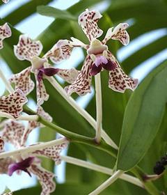 8933f9a4698a8 Los pétalos son misma forma de los sépalos, el labello y a espuela,  trilobulado y de forma variable de especie a especie.