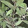 Laurel, plantas aromatica