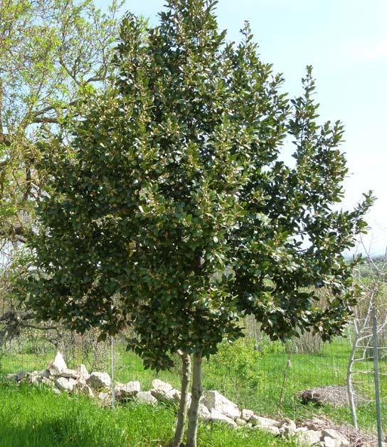 Laurel, cultivo y cura