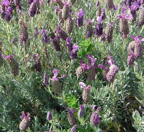 Lavanda informacion sobre la planta propiedades y cultivo for Como evitar que salga hierba en el jardin