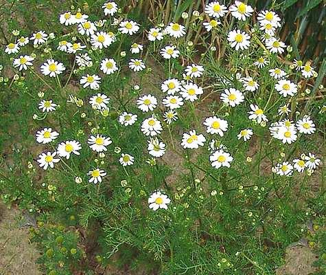 Manzanilla - Asteraceae - Como curar y cultivar la planta ...
