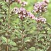 Origanum, plantas aromatica