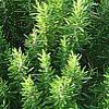 Romero, plantas aromatica