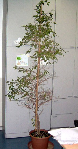 Problemi Ficus L Esperto Risponde Sulle Malattie Del Ficus
