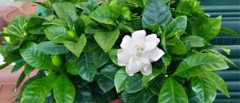 Problemi gardenia, gardenia malata