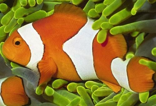 Dove Vive Il Pesce Pagliaccio.Amphiprion Percula Pesce Pagliaccio
