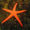Echinodermi, rubrica sugli echinodermata
