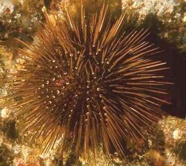 Echinoidea Ricci Di Mare