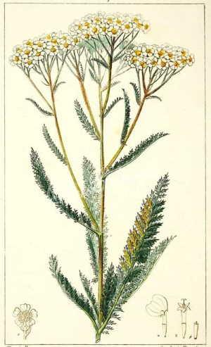 Achillea, caratteristiche generali della pianta