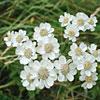 Achillea, Famiglia Asteraceae,  scheda   di coltivazione