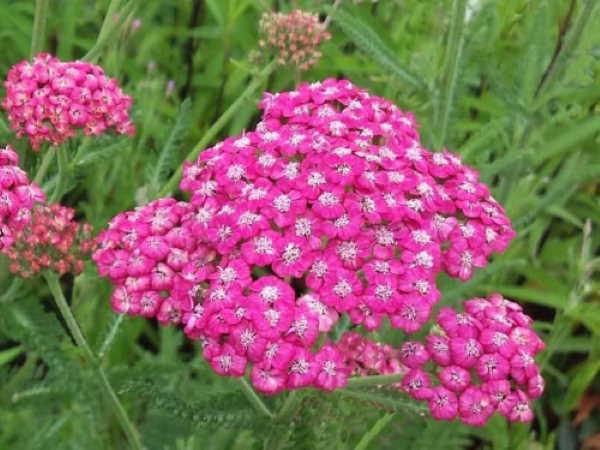 Achillea millefolium Cerise Queen, famiglia Asteraceae