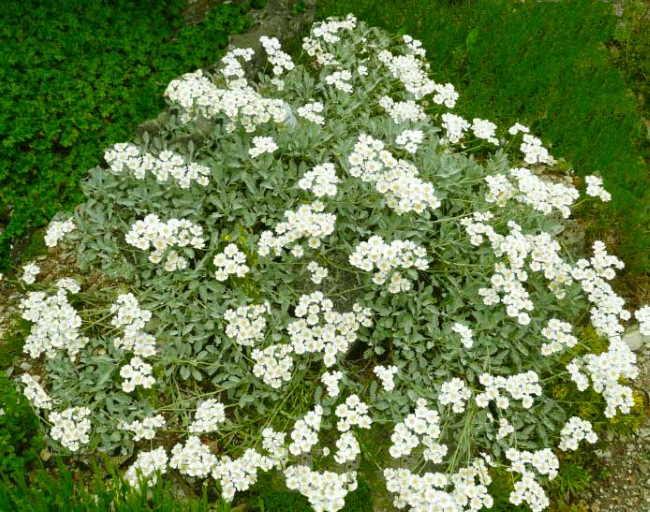 Achillea umbellata, famiglia Asteraceae