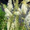Actaea, famiglia Ranuncolaceae, scheda   di coltivazione