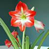 Amaryllis, famiglia Amaryllidaceae,  scheda  di coltivazione