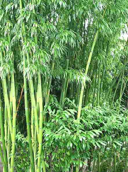Variet Di Bamb.Bambu Poaceae Come Curare E Coltivare Le Piante Di Bambu
