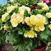 Cura e fioritura della Begonia