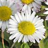 Bellis, famiglia Asteraceae, scheda di coltivazione