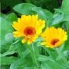Linguaggio dei fiori Calendula