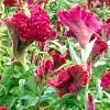 Celosia, la pianta conosciuta come cresta di gallo