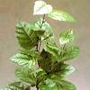 Cissus  scheda di coltivazione