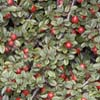 Cotoneaster  scheda di coltivazione