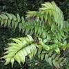 Cyrtomium  scheda di coltivazione