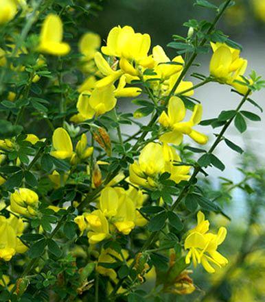 Cespuglio Con Fiori Gialli.Cytisus Citiso Fabaceae Come Curare E Coltivare Le Piante Di