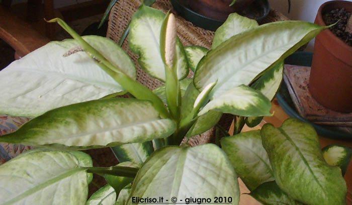 Piante Da Appartamento Dieffenbachia.Dieffenbachia Araceae Come Curare E Coltivare La Vostra Pianta