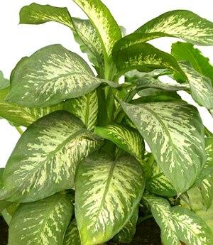 Piante Da Appartamento Grandi Foglie.Dieffenbachia Araceae Come Curare E Coltivare La Vostra Pianta