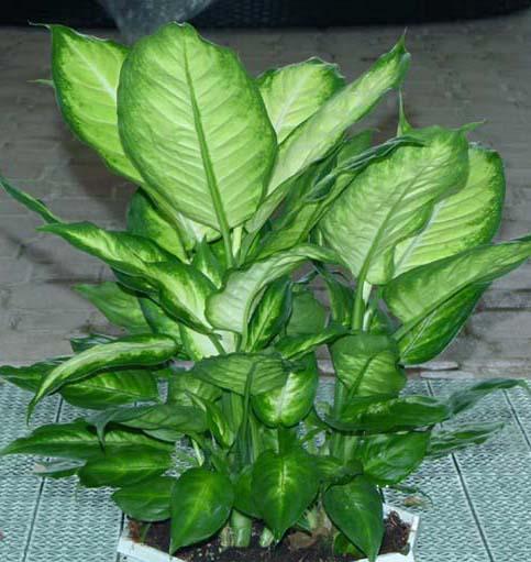 Piante Da Appartamento Dieffenbachia Amoena.Dieffenbachia Araceae Come Curare E Coltivare La Vostra Pianta