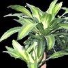 Dracena, dracaena, famiglia  Liliaceae, scheda di coltivazione