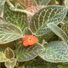 Episcia, famiglia Gesneriaceae, scheda di coltivazione