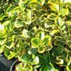 Euonymus o evonimo, scheda di coltivazione