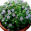 Exacum, famiglia Gentianaceae, scheda di coltivazione
