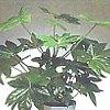 Fatsia, scheda di coltivazione