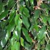 Ficus, scheda di coltivazione