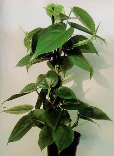 Piante Da Appartamento Filodendro.Filodendro Araceae Come Curare E Coltivare Le Piante Di Filodendro