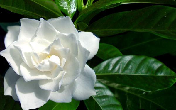 Fiori Gialli Gardenia.Gardenia Rubiaceae Come Curare E Coltivare La Vostra Gardenia