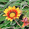Gazania, famiglia Asteraceae, scheda di coltivazione