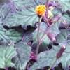 Gynura, pianta, scheda di coltivazione