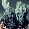 Haworthia, scheda di coltivazione