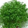 Helxine, scheda di coltivazione