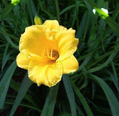 Fiori Gialli Gambo Lungo.Hemerocallis Famiglia Liliaceae Coltivazione E Cura Delle